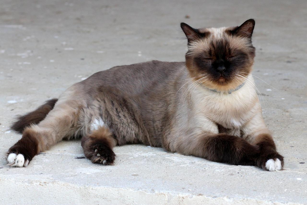 Gatto Birmano o Gatto Persiano - Quale Scegliere